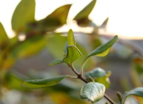 hojas planta