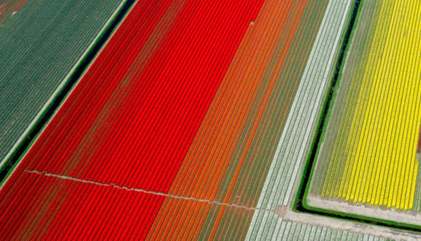 Campos de tulipánes